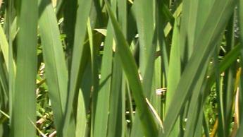 茭白為禾本科多年生植物,外觀看來就像放大板的稻子一樣,在中國有千年的栽培歷史廣廣泛栽培於亞洲及亞熱帶地區,常生長在河邊及沼澤地一帶。