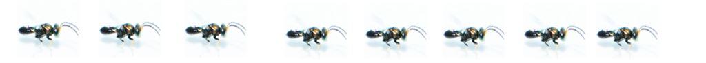 平腹小蜂外型很小,大約 3 至 5 mm長,肉眼觀察酷似螞蟻