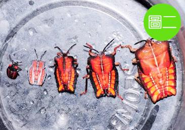 荔枝椿象剛從卵孵化時為粉紅色,不久後即變成帶有紅斑的灰黑色,形似蜘蛛,稱為初齡若蟲;隨著齡期增長,荔枝椿象的若蟲外型逐漸長成帶稜角的長方盾狀,顏色呈現鮮豔的橘紅色