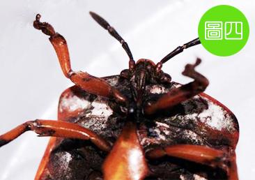 包含初齡若蟲在內,荔枝椿象總共分五齡若蟲。成蟲有翅膀,可飛翔,外型比第五齡若蟲來的圓,顏色也較深,腹面則有白色蠟粉