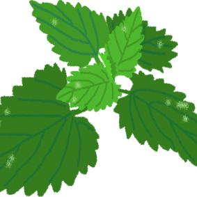 香草植物-薄荷