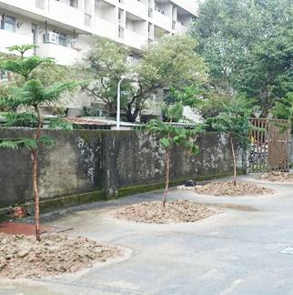 整地後種植小葉南洋杉生長情形
