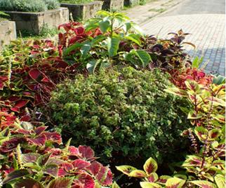榕樹植穴綠美化1