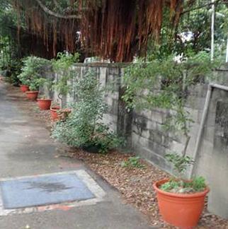 牛舍後方樟樹盆栽綠化
