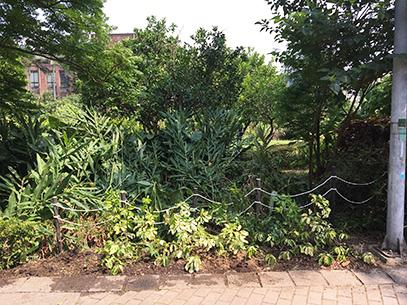 南洋鵝掌藤為自行繁殖苗木