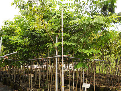 綠化環境之印度紫壇苗木