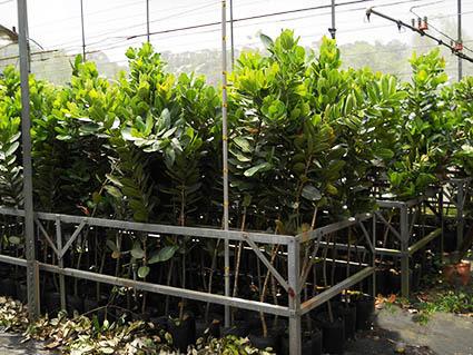 綠化環境之瓊崖海棠苗木