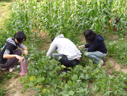 現代農業體驗與田園生活體驗實習學生採收毛豆
