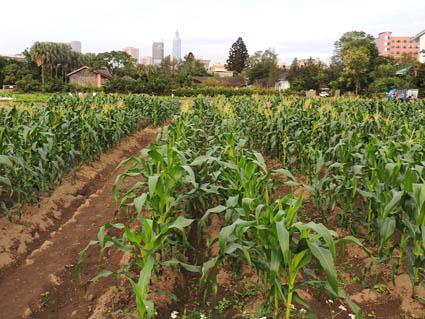 試驗田學生實習種植玉米