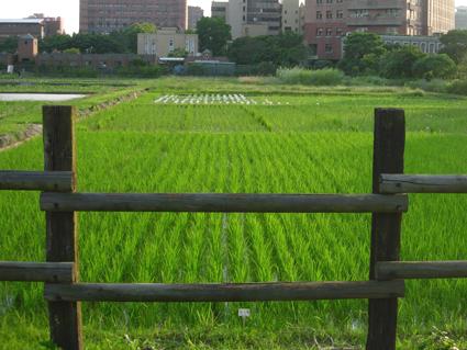 試驗田水稻