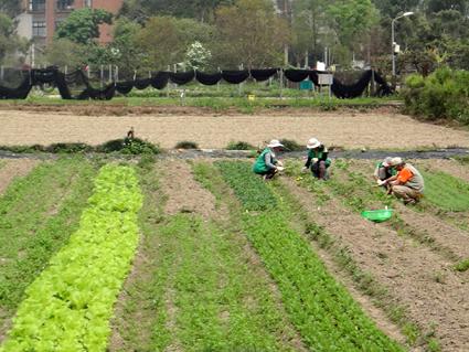 志工於蔬菜田幫忙拔雜草