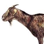 示範經營─乳山羊