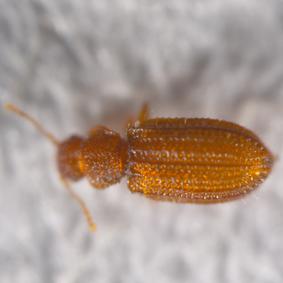 粉蠹蟲,一種竹木鞘翅目害蟲