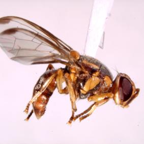 南瓜實蠅,瓜果類害蟲