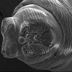 果實蠅幼蟲頭部電子顯微照片