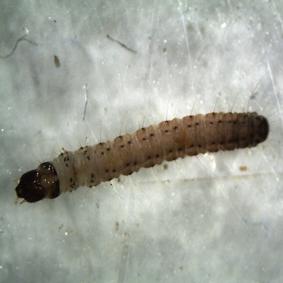 倉庫害蟲,粉斑螟蛾幼蟲