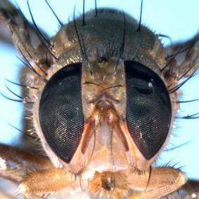 竹筍果實蠅頭部正面觀