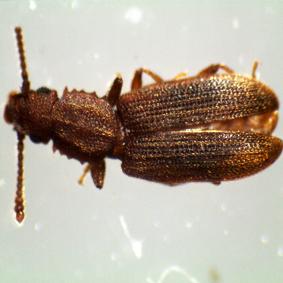 倉庫害蟲,鋸胸粉扁蟲成蟲